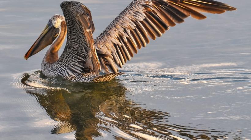pelican-901006_1920