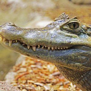 alligator-1579916_1920