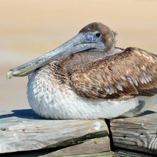 pelican-1633914_1920 - Copy